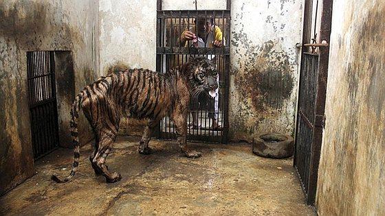 Tijgerverblijf - Surabaya Zoo