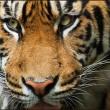 Uitbreiding wegen en spoorlijnen in Azië bedreiging voor tijgers