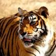 Tijger gestroopt in tijgerreservaat India