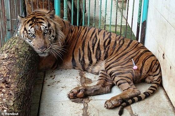 tijger Rama