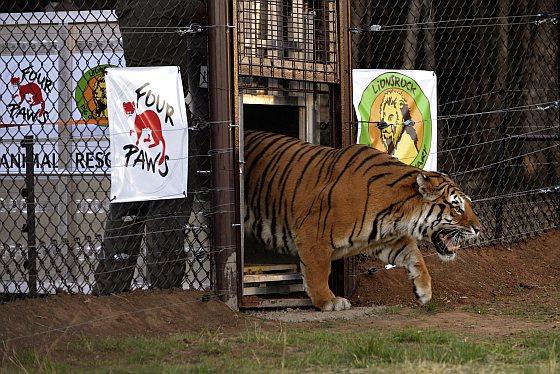 Aankomst tijger in Lionsrock - circustijgers
