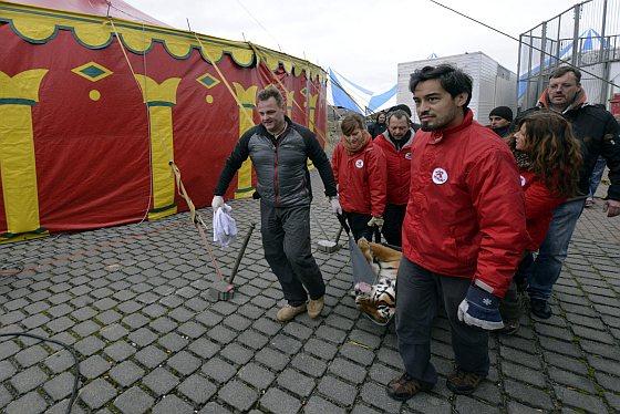 Tijgers opgehaald bij circus - circustijgers
