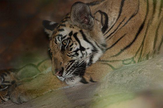 Tijger - dode tijgers