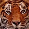 Petitie tegen circusdieren in Frankrijk na dood circustijger