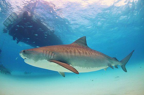 Tijgerhaai haaien