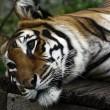 Vier Voeters in actie voor Nederlandse leeuwen en tijgers