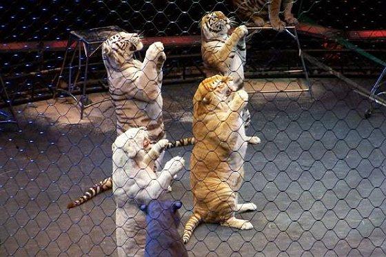 Tijgers in circus