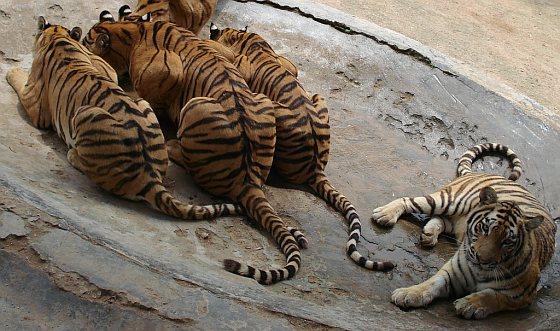 Tijgers in Chinese dierentuin