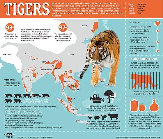 Tijgers Infographic