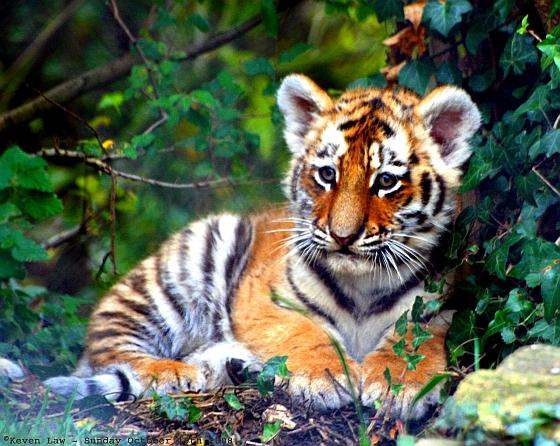 illegale handel tijgerwelp