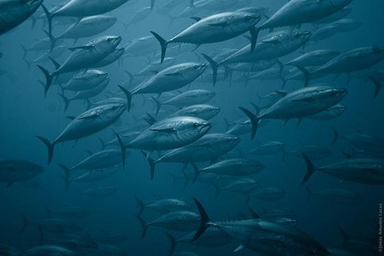 tonijnpopulatie