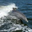 Dolfijnen hebben complexe sociale netwerken