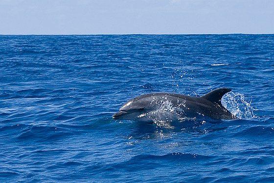 Tuimelaar - dolfijnen