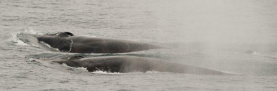 Twee zuidelijke oceaan vinvissen bij Deception Island