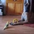 #GNvdD: Kleine valkparkiet zorgt voor grappige reacties Deense Dog (video)
