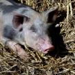 Diervriendelijker vlees steeds vaker in supermarkt