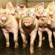 Meerderheid kiloknallervarkens heeft maagproblemen