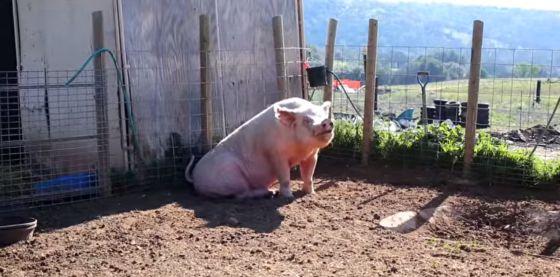 Twee varkens gered