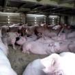 Varkens lijden aan hittestress tijdens diertransport
