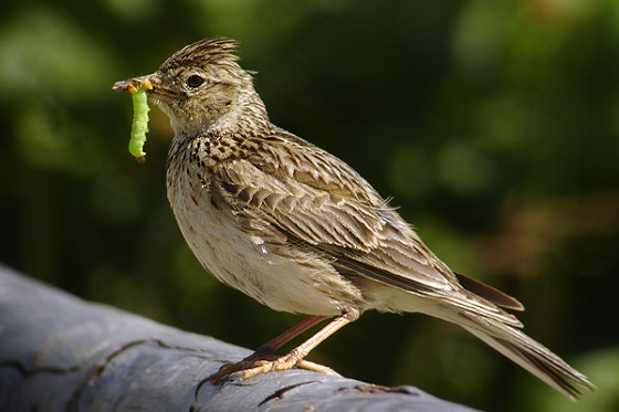 Boerenlandvogels - Veldleeuwerik