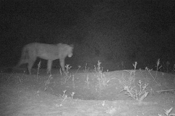 Verborgen camera - leeuwen