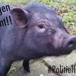 Dafne Westerhof: Verborgen varkensleed, de minivarkens hype