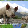 12 bijzondere weetjes over varkens