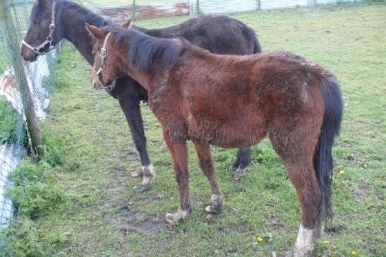 Verwaarloosde paarden landbouwdieren
