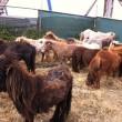 Verwaarloosde pony's weggehaald bij eigenaar