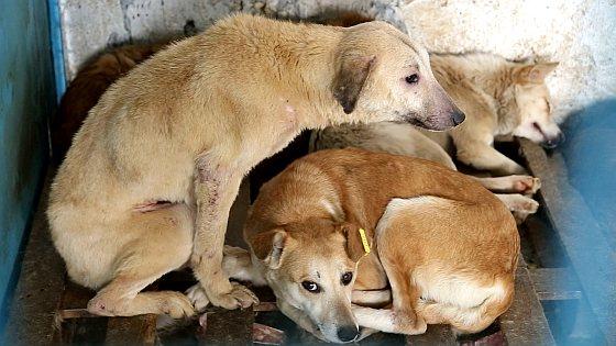 Overvolle hokken met zieke en gewonde honden - overheidsasielen