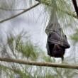 Vleerhonden Australië koken letterlijk dood door extreme hitte
