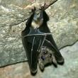 Nieuwe Vleermuis ontdekt in Vietnam
