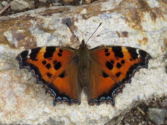 Oostelijke vlinder