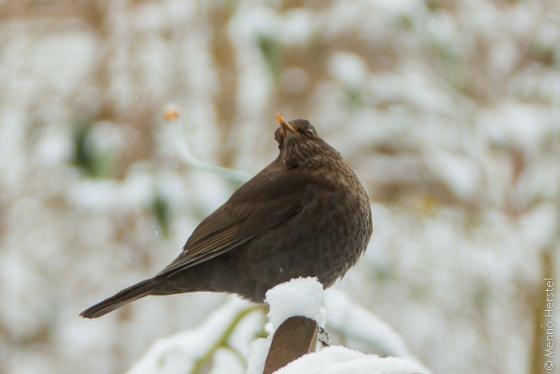 vogel in sneeuw