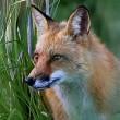 Protest tegen vogelvrijverklaring vossen in België