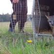 Dieren in gevangenschap proeven voor het eerst de vrijheid (video)
