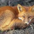 Webcams vossenburcht weer online