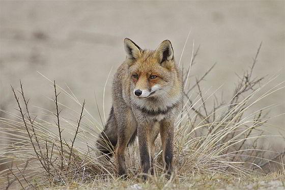 vossen Noord-Holland Raad van State