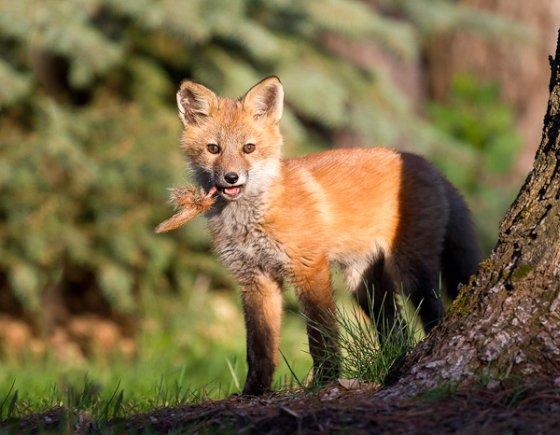 schoorsteen gewonde vos