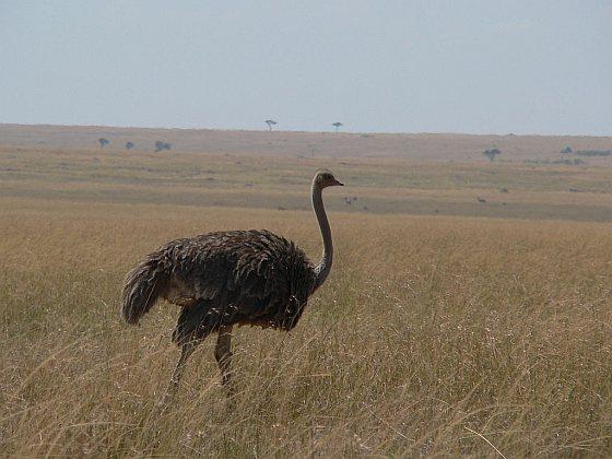 Vrouwtjesstruisvogel - struisvogelrace
