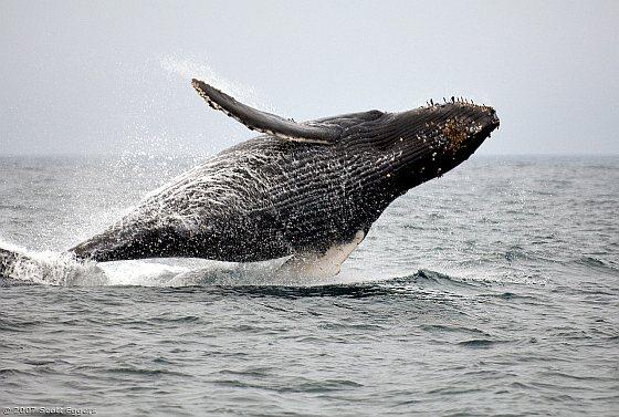 Walvis - walvisjacht