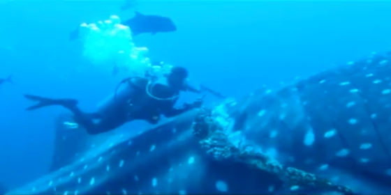 zwangere walvishaai gered van verdrinkingsdood