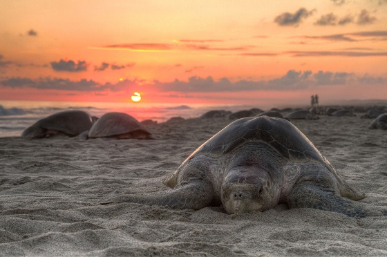 schildpaddeneiren
