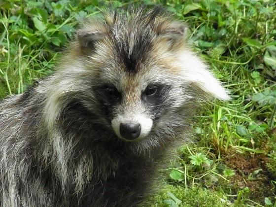 wasbeerhond - positieflijst