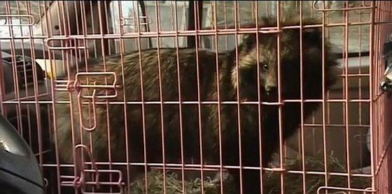 Wasbeerhond - huisdier