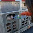 Mogelijk 10 jaar cel voor vrouw die dorstige varkens water gaf