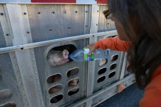 aangeklaagd - dorstige varkens