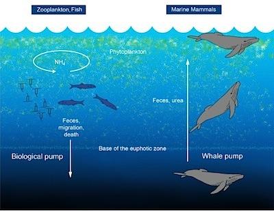 Whale pump model