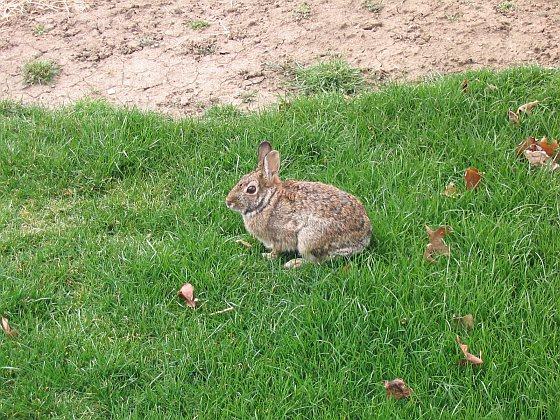 Wild konijn - konijnen