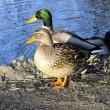 Geen vogelvrijverklaring wilde eenden Noord-Holland